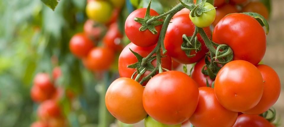 Ce se întamplă dacă folosim zilnic tomate în alimentaţie
