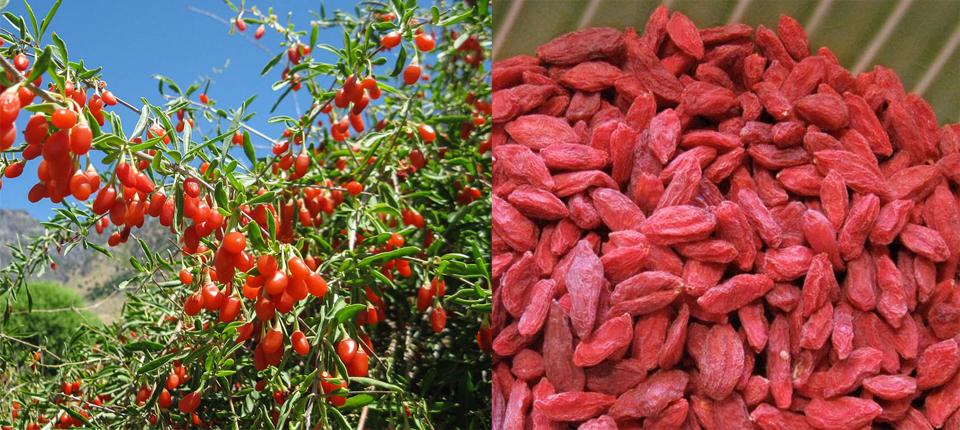 Un super fructul din Tibet – Goji
